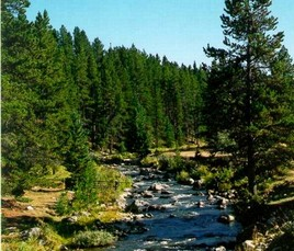 River flowing through pine trees